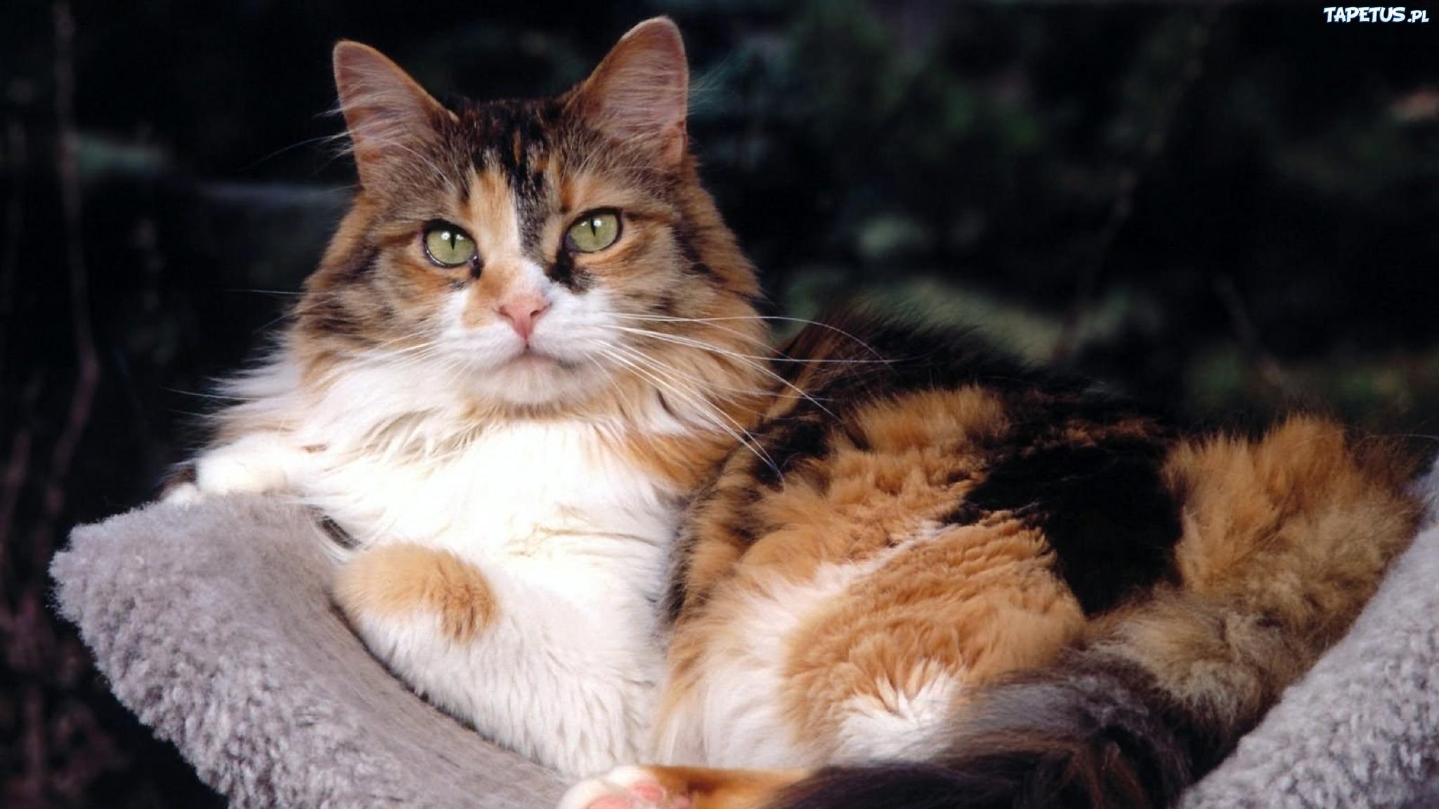 Biało Czarno Rudy Puszysty Kot Koc