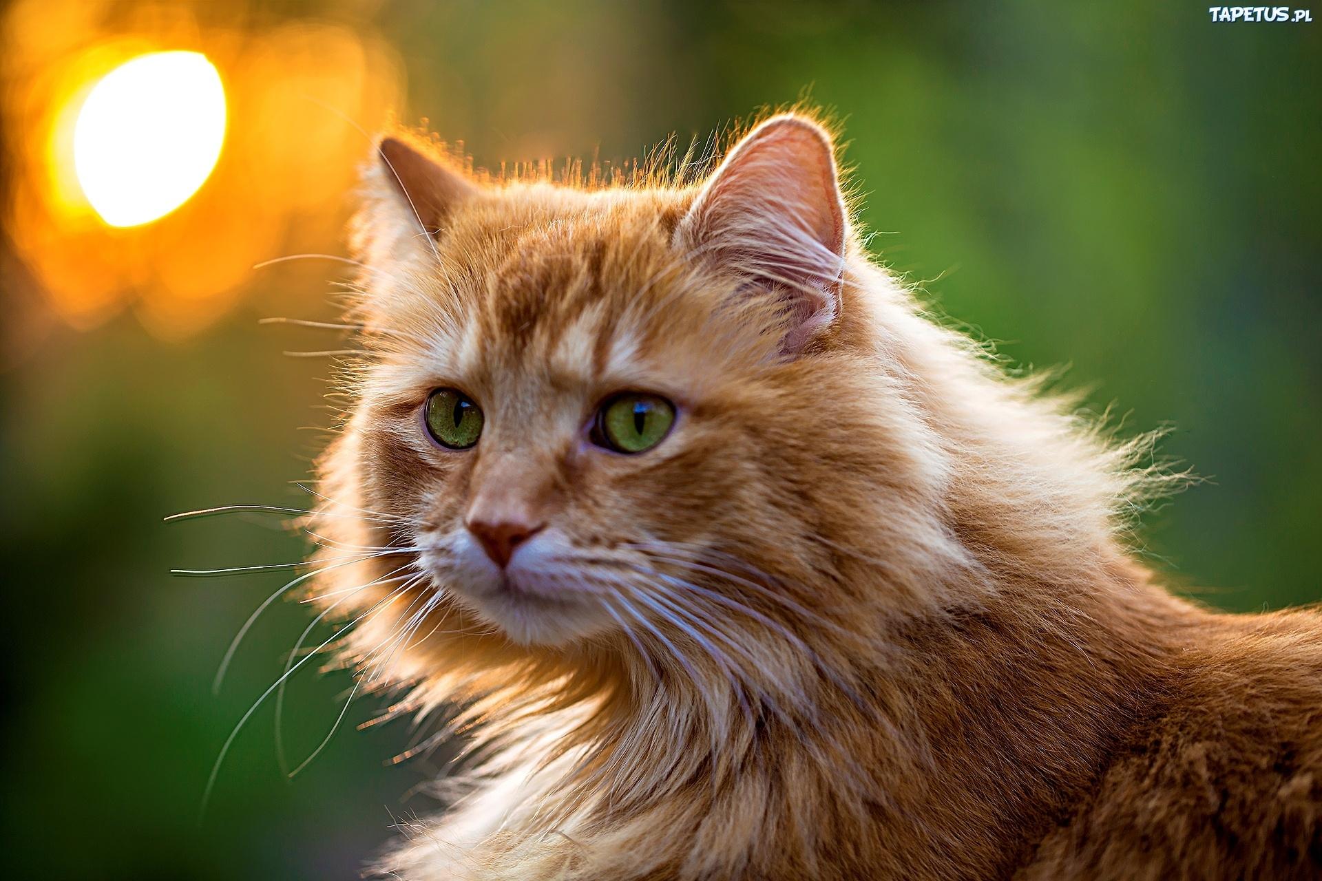 Rudy Kot Norweski Leśny Zielone Oczy