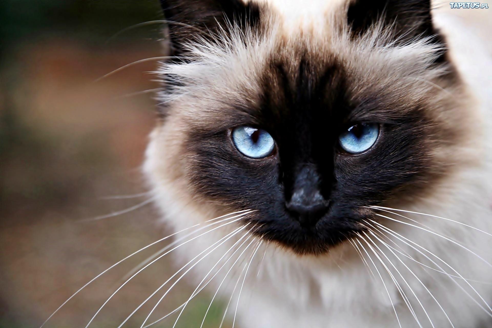 Kot Syjamski Niebieskie Oczy Zbliżenie