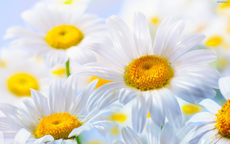 ромашка цветок улыбка без смс