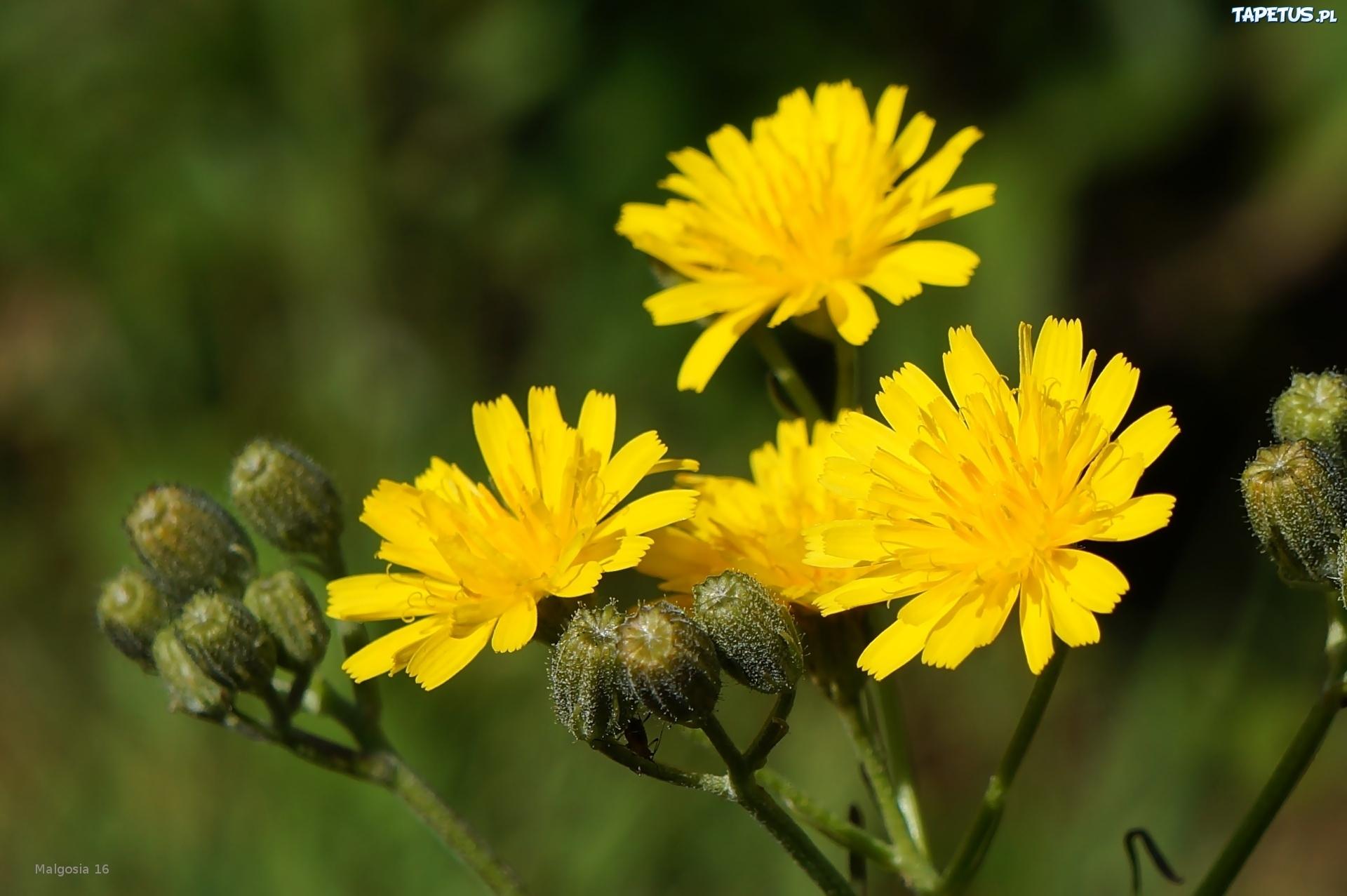 Polne Zolte Kwiaty