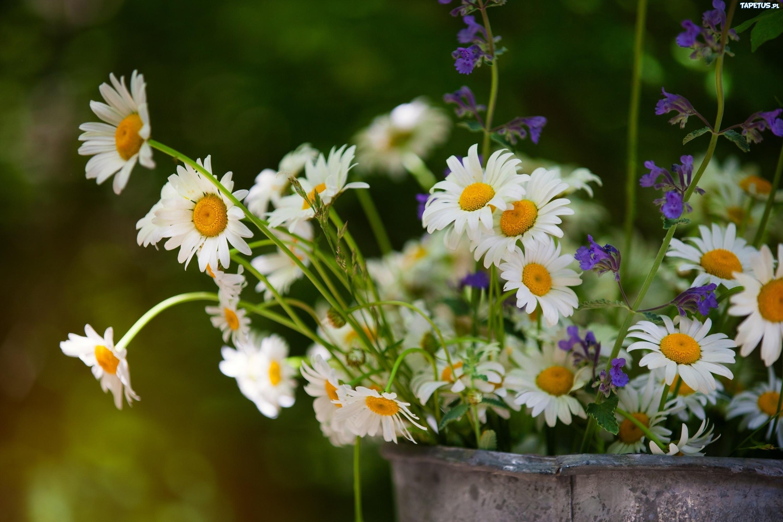 праздник день рождения цветы ромашки holiday day birth flowers chamomile без смс