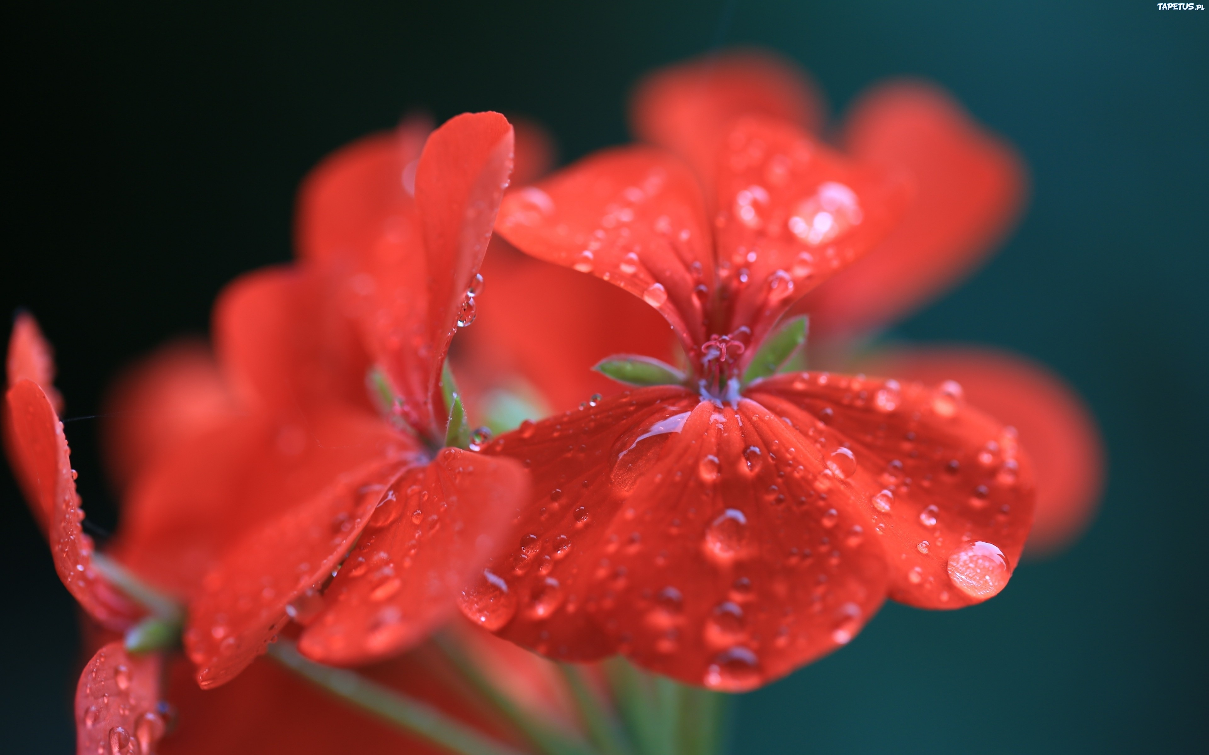 природа красный цветок макро загрузить
