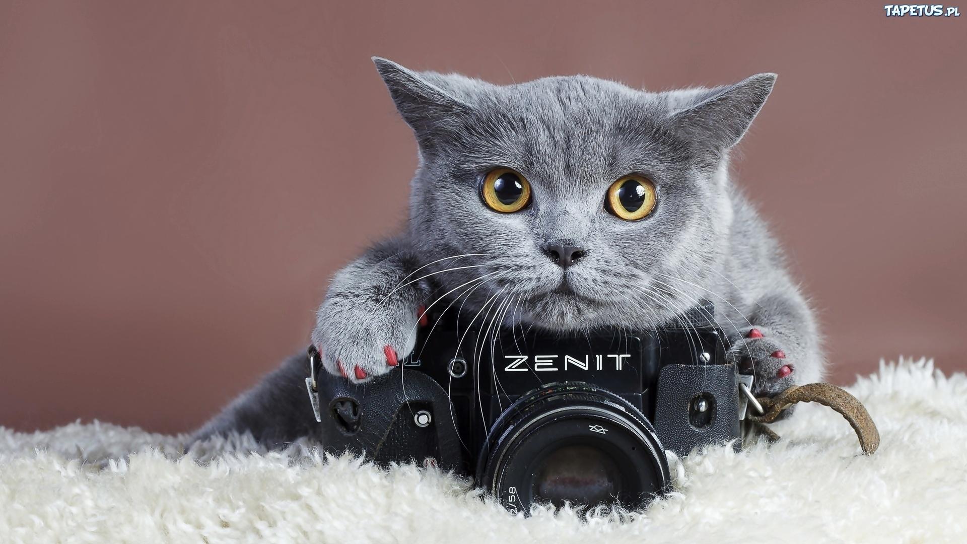 Kot Brytyjski Aparat Fotograficzny