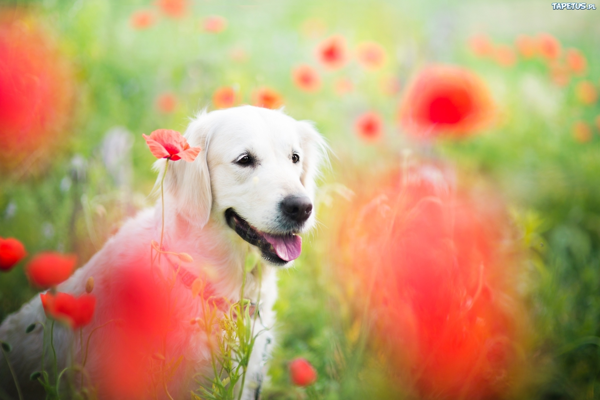 собачка, поле, цветы, экстерьер бесплатно