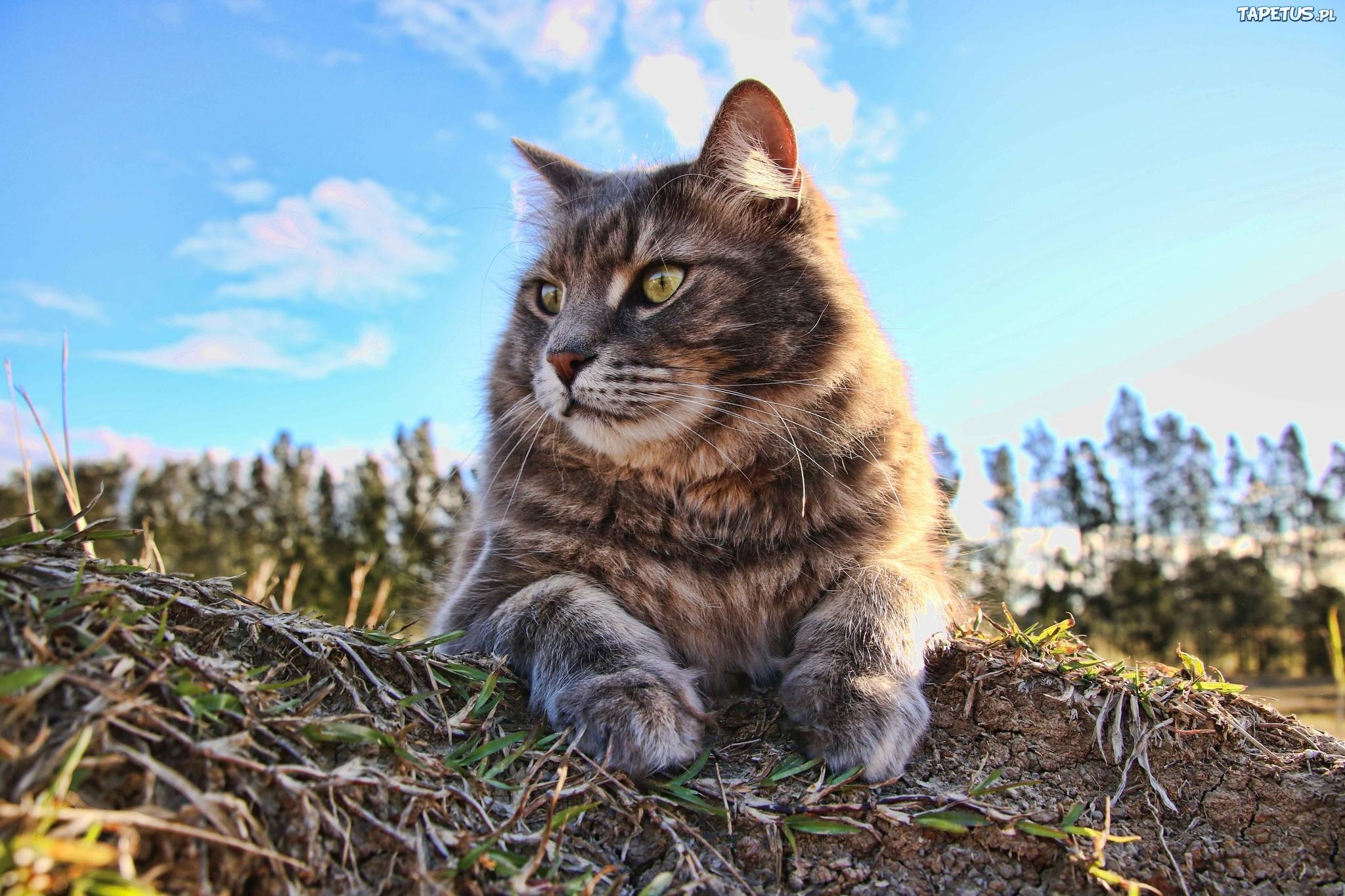 природа животные кот серый язык бесплатно