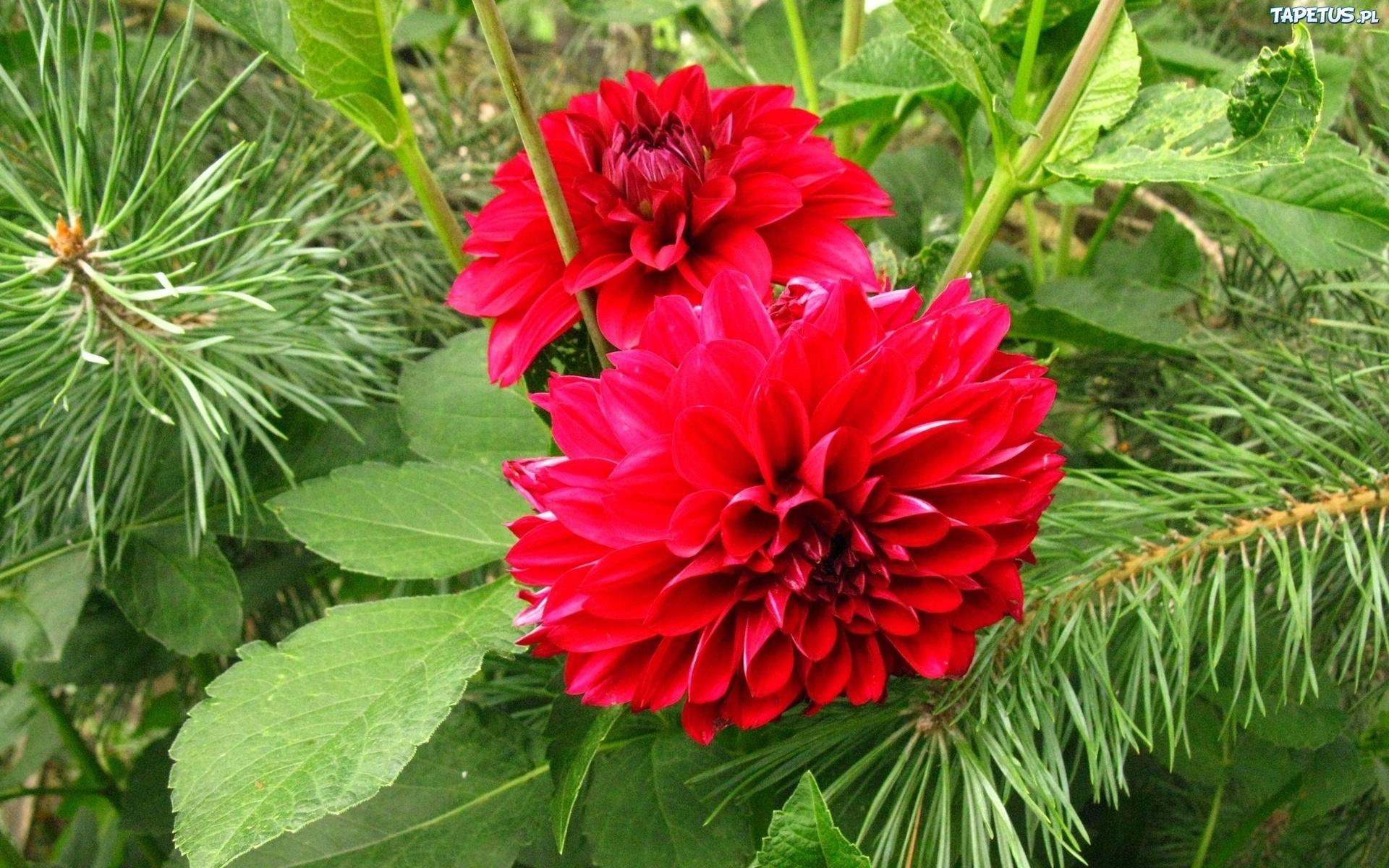 Красный цветок георгин бесплатно