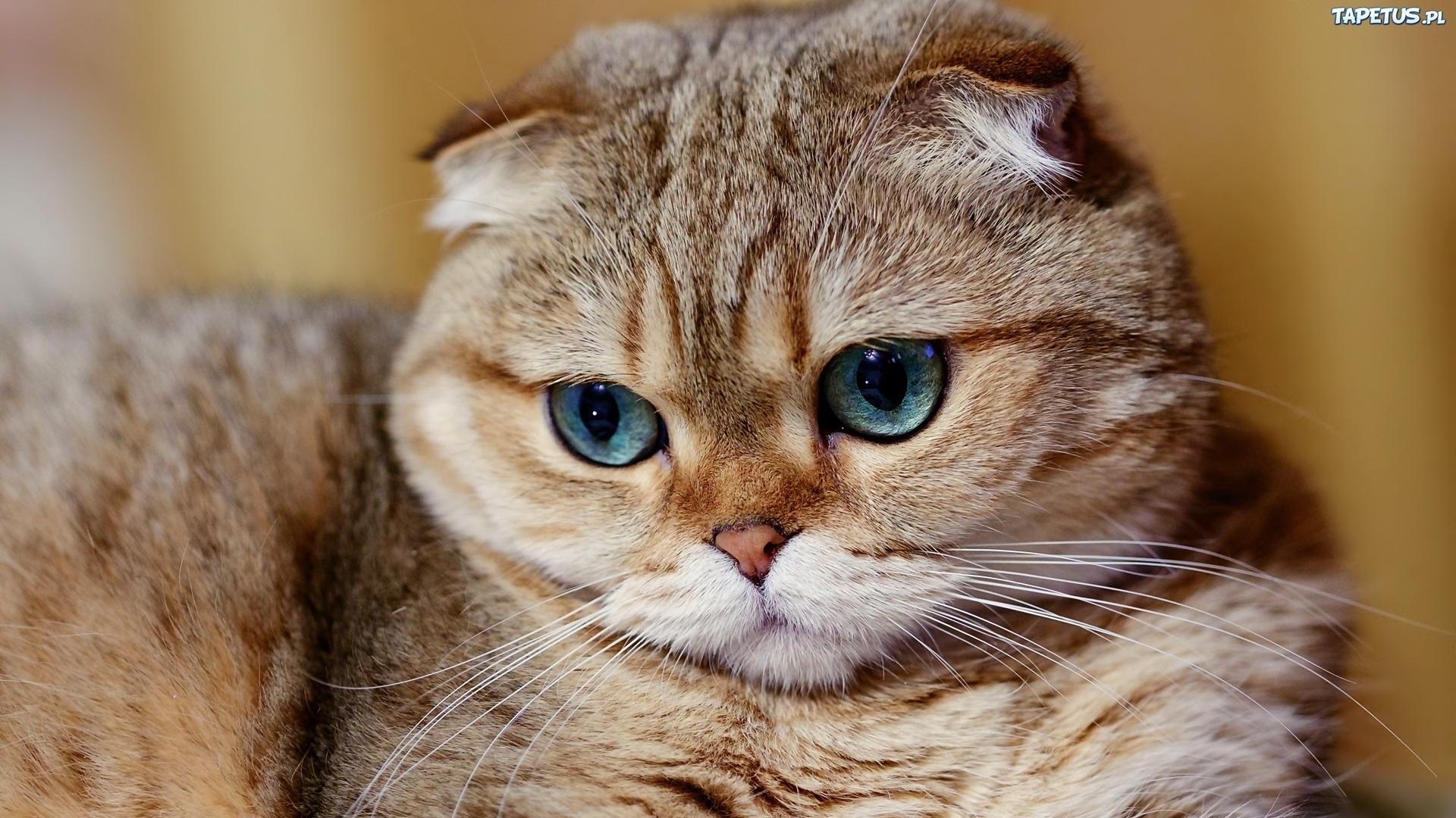 Kot Szkocki Zwisłouchy Zielone Oczy