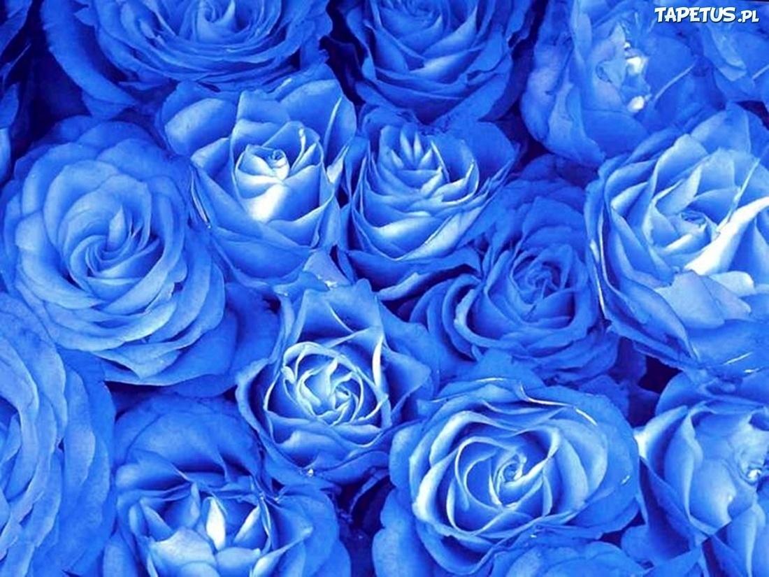 262925e9d00254 Niebieskie, Róże