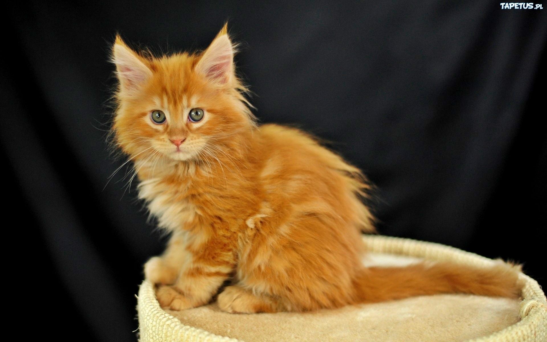 Mały Rudy Kot Długa Sierść