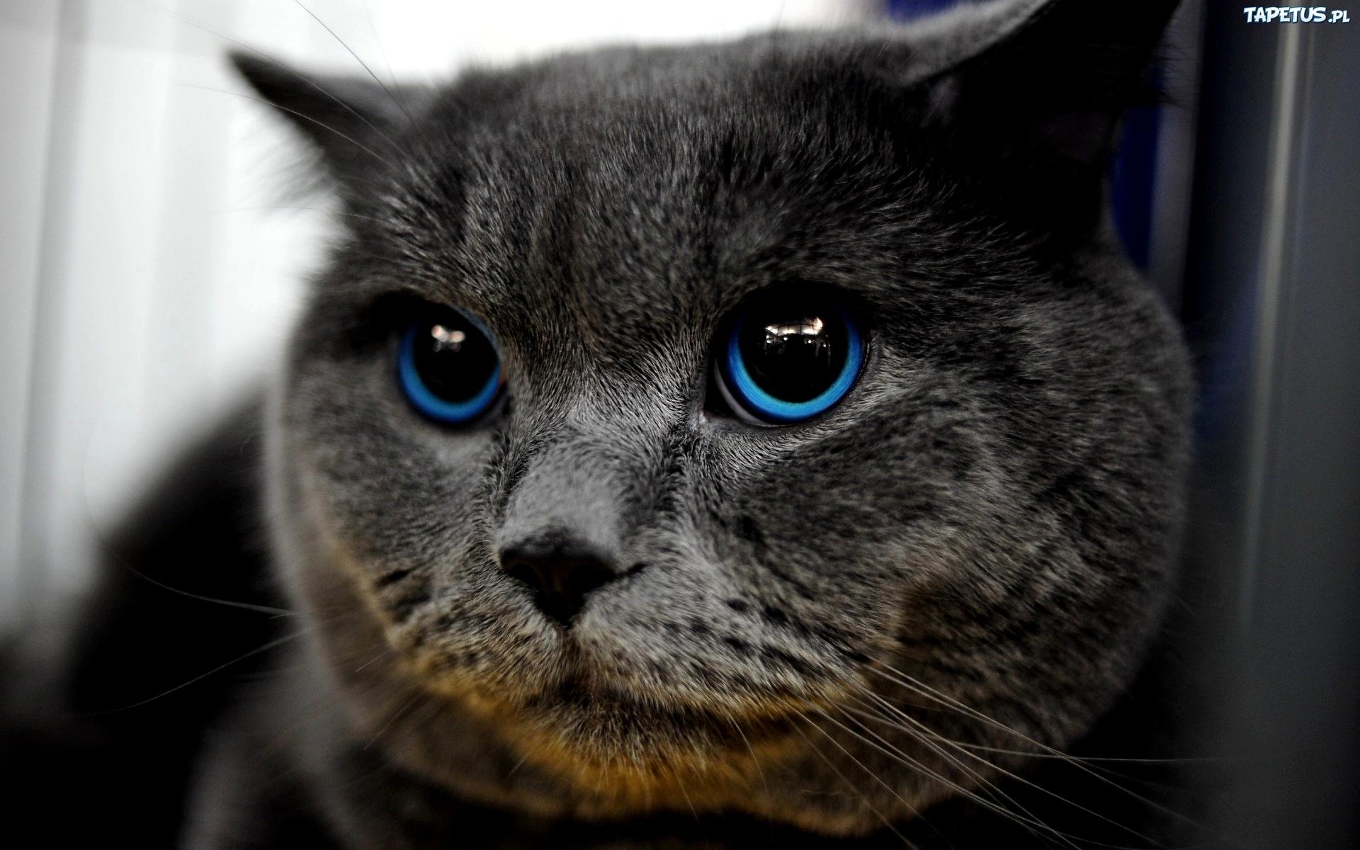 Kot Z Niebieskimi Oczami Jsb62 Usafrica